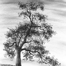 "Yelena Shabrova ~ The Old Oak ~ charcoal on drawing paper, 4"" x 6"""