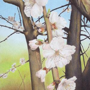 "Yelena Shabrova ~ Plum Blossoms in Los Gatos Creek Park - colored pencil on Bristol paper, 16"" x 20"""
