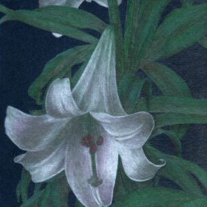 "Yelena Shabrova ~ White Lily - colored pencil on colored paper, 9"" x 12"""