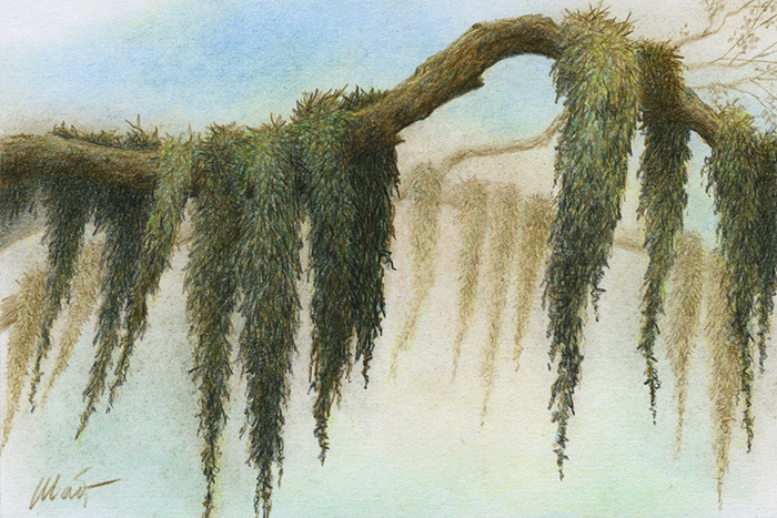 "Yelena Shabrova ~ A sketch a day: lichen on a tree branch ~ colored pencil on drawing paper, 6"" x 4"""