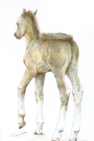 """Yelena Shabrova ~ A sketch a day: foal ~ Faber-Castell colored pencils on Canson drawing paper, 4"""" x 6"""""""