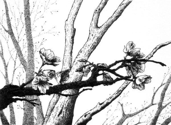 Horizontal blossoming plum branch with faint tree trunks in the background, black ink on white paper