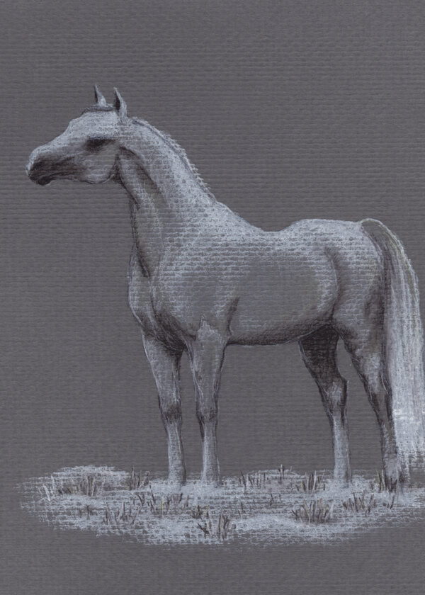 Drawing of a white Arabian horse standing on thin layer of snow, facing left, on gray background