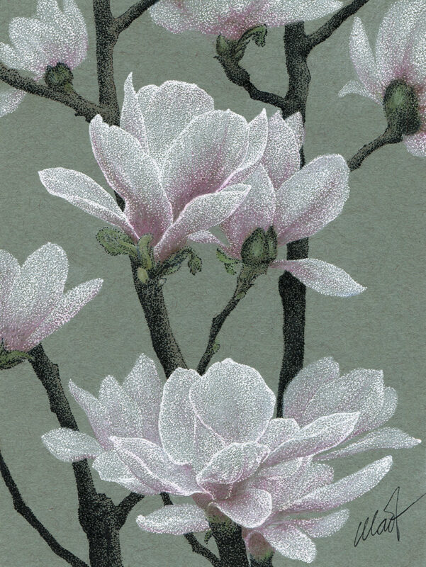 Drawing of blossoming star magnolias. Flowers were done in white gel ink pen, branches and young leaves were done in black felt tip pen. Colored pencil was used for add pink to flowers, various greens to leaves, and earthy colors to branches. Background is a warm, slightly green shade of gray with visible small fiber parts in it.