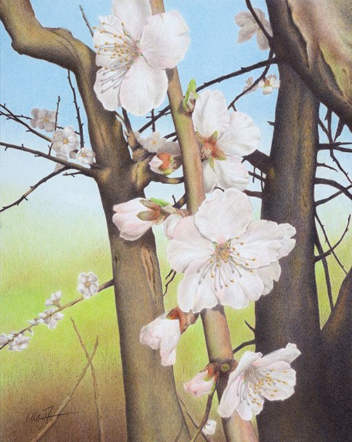 "Yelena Shabrova ~ Plum Blossoms in Los Gatos Creek Park ~ Prismacolor colored pencil on Bristol paper, 16"" x 20"""
